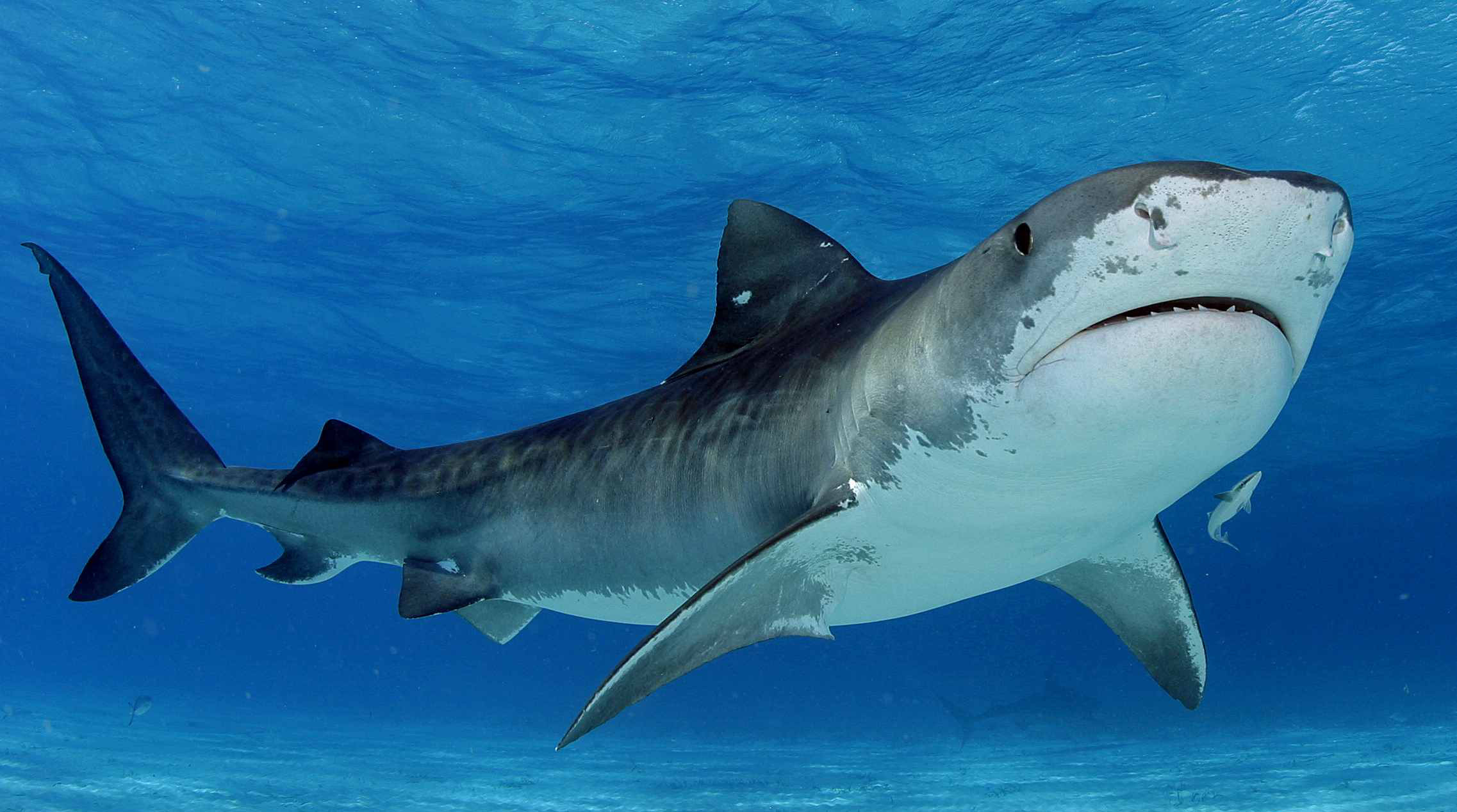 tiger-shark-picture-swimming-pictures_261284.jpg